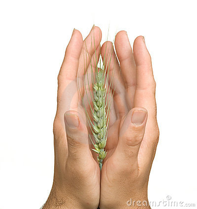 Farmer presenting wheat as a gift