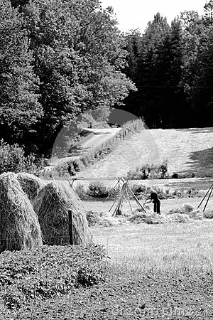 Farmer puts up hay on long drying racks. Editorial Photo