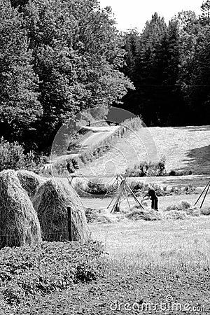 Farmer puts up hay on long drying racks. Editorial Photo