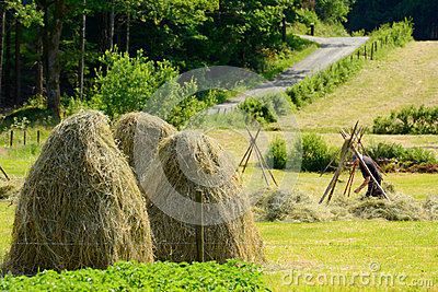 Farmer puts up hay on long drying racks. Editorial Stock Image