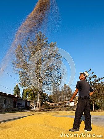 Free Farmer Raising And Winding Wheats On Dryingyard Stock Image - 97992661