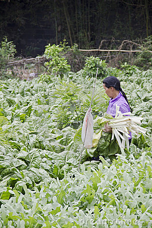 A farmer reaps kale from the season plantation Editorial Image