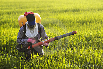 Farmer at rice field
