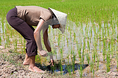 Farmer on the rice field