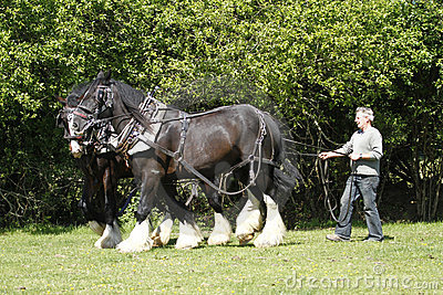 Farmer & Shire Horses Working Together