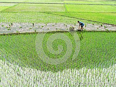 Farmer is sowing seedling