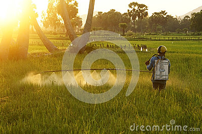 Farmer spray chemicals  on rice field at sunset Editorial Image