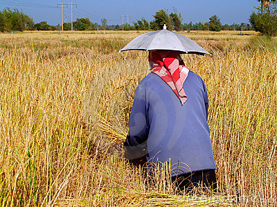 Farmer In Thailand 3
