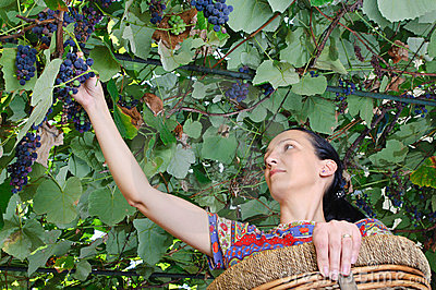 Farmer woman harvesting wine grapes