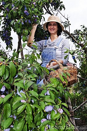 Farmer woman picking plums