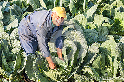 Farmer working cabbage farm