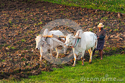 Farmer working in the field Editorial Stock Image