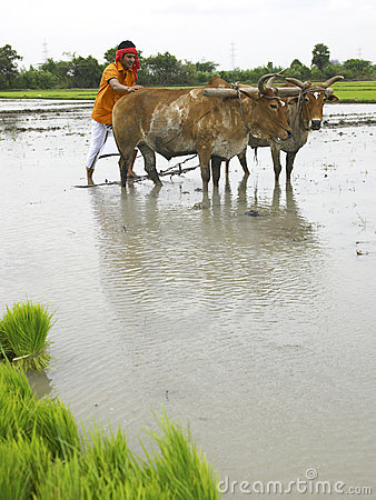 Farmer working in his paddy field