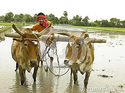 Farmer working in his paddy field