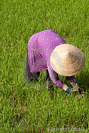 Farmer working in a paddy field