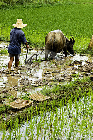 The farmer working in the paddyfield . Editorial Photography