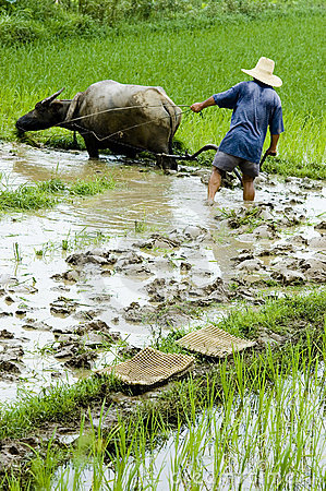 Farmer working in the paddyfield . Editorial Photo