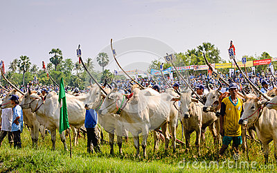 Farmers with cow racing Editorial Stock Image