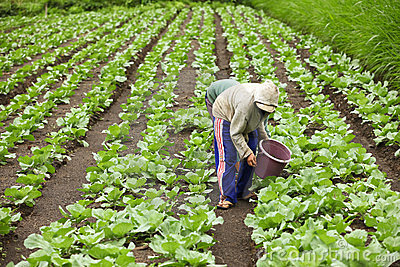 Farmers harvesting Editorial Stock Image