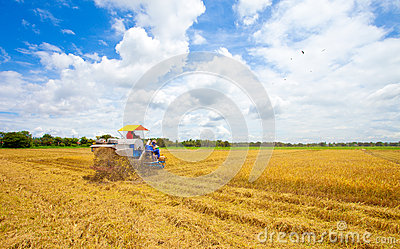 Farmers the harvesting Golden rices with tractor
