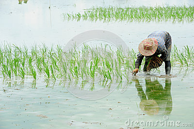 Farmers are planting rice in the farm Editorial Stock Image