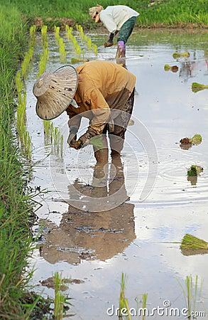 Farmers planting rice