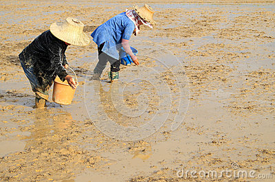 Farmers sowing rice seed