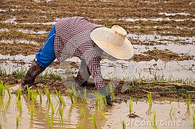 Farmers working planting rice