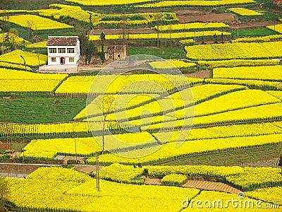 Farmhouse rapeseed field around