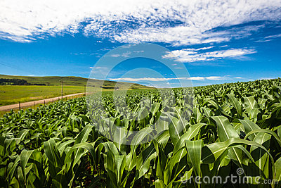 Farming Maize Crops Food