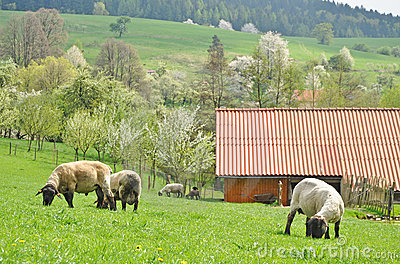 Farming, sheep farm countryside