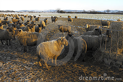 Farming - Sheep Feeding in Winter - England