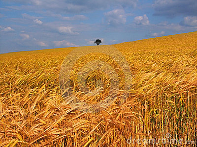 Farmland with cereal crops