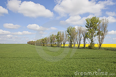 Farmland with poplar trees