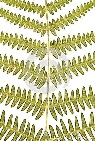 Farn-Blätter