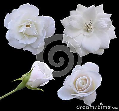 Fases de la Rose