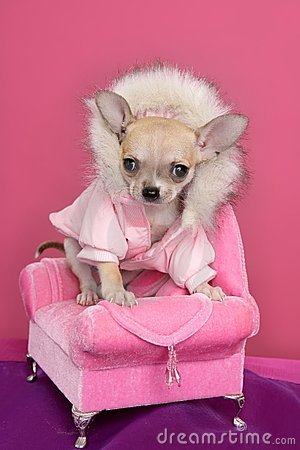 Free Fashion Chihuahua Dog Barbie Style Pink Armchair Royalty Free Stock Photo - 17347485
