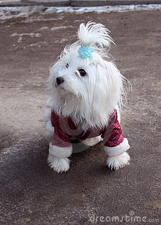 Fashionable Maltese dog