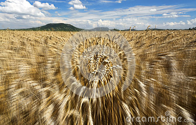 Fast motion in the wheat field in summer time Stock Photo