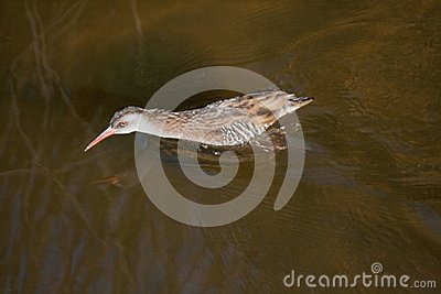 Faster Water Rail