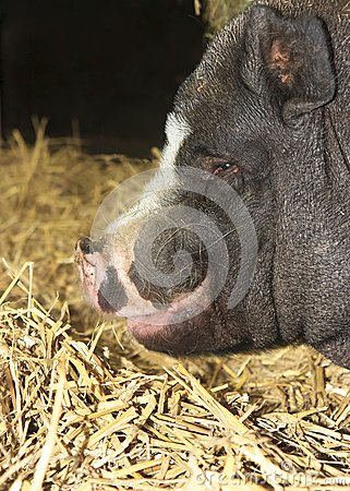 Fat Black Pig Portrait