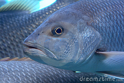 Fat fish royalty free stock images image 4550529 for Is fish high in cholesterol