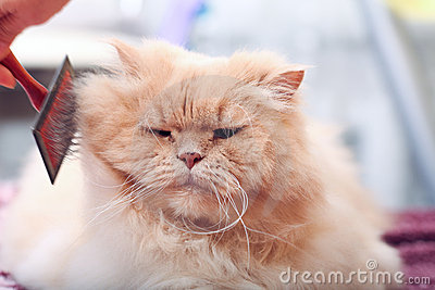 Fat Fluffy Cat Stock Photos - Image: 15690723