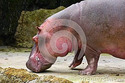 A Fat Hippopotamus
