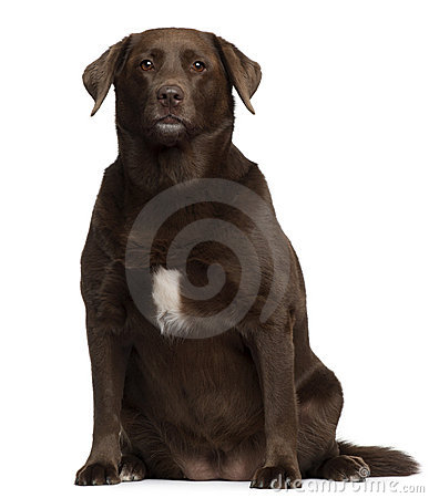 Fat Labrador Retriever, 7 years old, sitting
