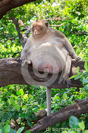 Free Fat Monkey Sleeping Royalty Free Stock Images - 44628879