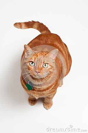 Fat Orange Tabby Cat Sitting and Looking Up