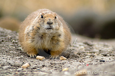 Fat prairie dog sitting on the ground