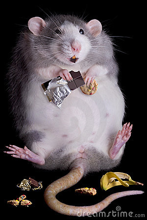 Free Fat Rat Stock Images - 16591514