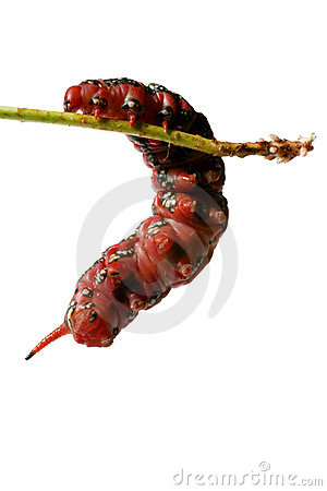 Fat Red Caterpillar - Climbing